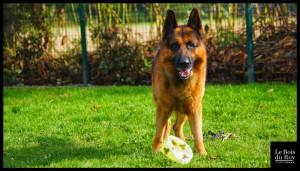 """Gibbs un berger allemand qui attend qu'on joue avec lui au ballon durant sa séance """"jeux"""""""