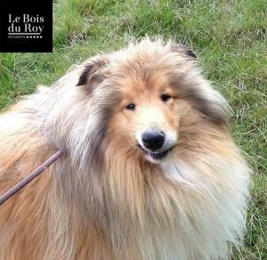 Hamlet, un colley qui sourit en grimaçant pour montrer qu'il est content durant sa promenade en forêt