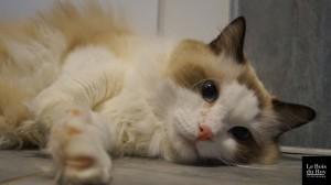 """Idryss, un chat Ragdoll qui se prélasse sur le sol chauffant durant sa séance """"contact"""""""