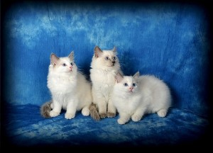 3 chatons ragdoll