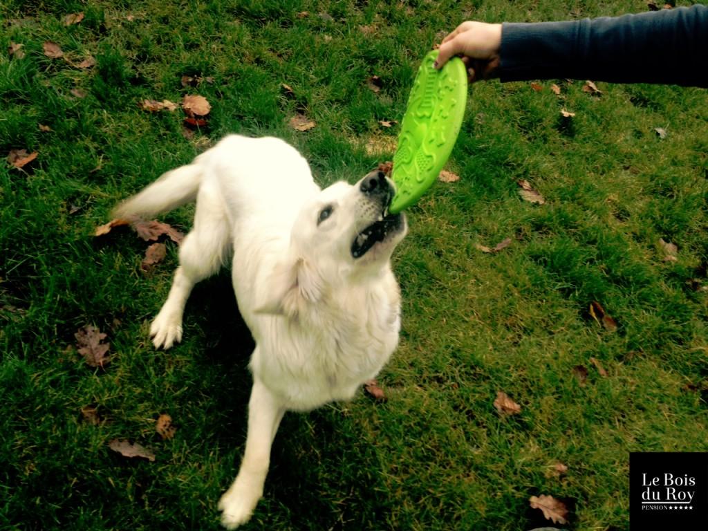 Heidi golden retriever seance jeux le bois du roy 20.11.14