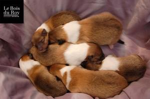 Portée Legend & Touch nov 2014, plein de chiots dormant sur une serviette