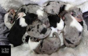 Portée Zumba & Djack nov 2014, plein de chiots dormant sur une serviette