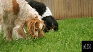 Dipsy et Féline, deux copines, l'une épagneul et l'autre cavalier king charles reniflant l'herbe de l'enclos