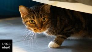 Urban, un beau chat au regard profond dans sa Suite Prestige